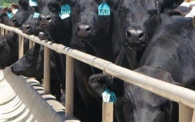 How to Invest in Cattle